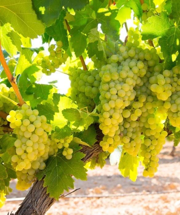 Лучшие сорта Шардоне для Крымского Эксклюзивного вина