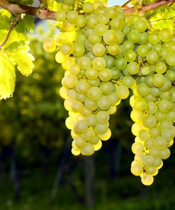 Сорта винограда Пино, Шардоне и Совинь