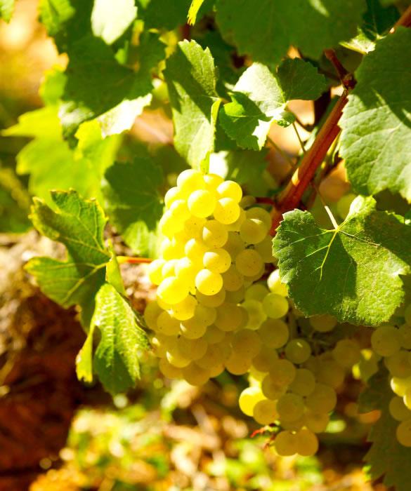 Игристое вино из винограда Шардоне, Совиньон Блан, Пино Блан
