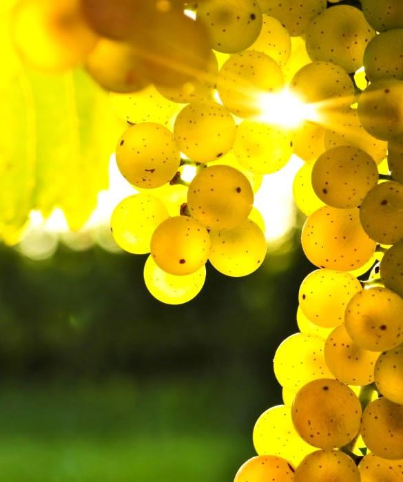Виноград Шардоне, Пино Блан и Бианка для газированного винного напитка