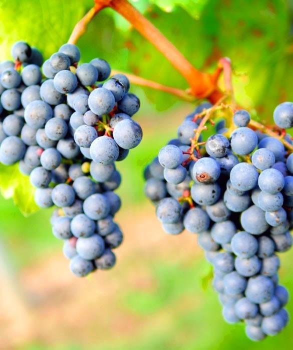 Виноград для винного газированного напитка «Карнавал»