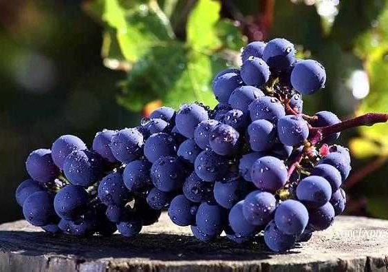 cabernet sauvignon e1605601179634 - Закончился сезон сбора урожая 2020